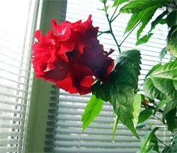 Фэн-шуй комнатных цветов
