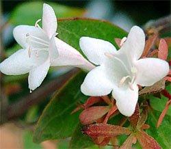Комнатные цветы - Абелия - выращивание