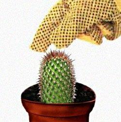 Черенкование кактусов: шаг за шагом