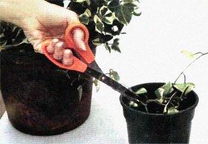 Размножение отводками комнатных цветов