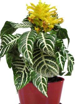 Афеландра - комнатные цветы