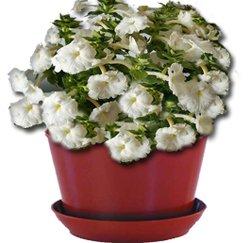 Ахименес - комнатные цветы