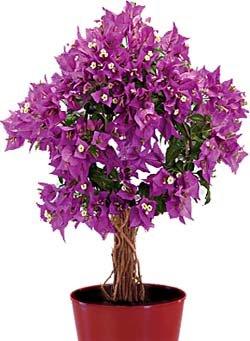 Комнатные цветы - Бугенвиллия