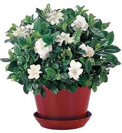 Гардения - Комнатные цветы