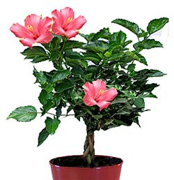 Гибискус - Комнатные цветы
