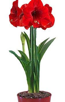 Гиппеаструм - Комнатные цветы