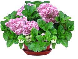 Гортензия - Комнатные цветы