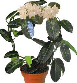Жасмин - Комнатные цветы