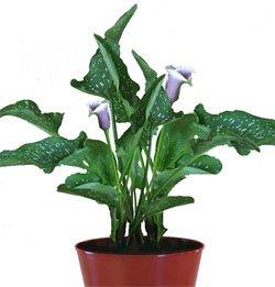 Зантедеския - Комнатные цветы -