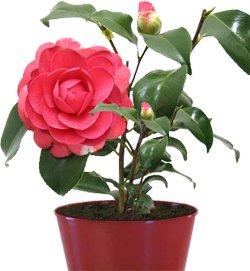 Камелия - Комнатные цветы
