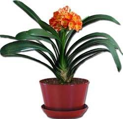 Кливия - Комнатные цветы