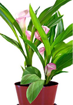 Куркулиго - Комнатные цветы
