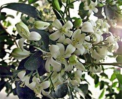 Мурайя - комнатные цветы