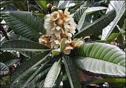 Мушмула, эриоботрия - комнатные цветы
