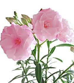 Олеандр - комнатные цветы