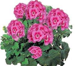 Пеларгония - комнатные цветы