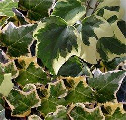 Плющ - комнатное растение
