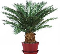 Саговник - комнатное растение