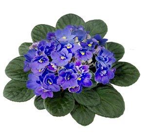 Каталог комнатных цветов, выращиваемых в домашних условиях, особенности 4