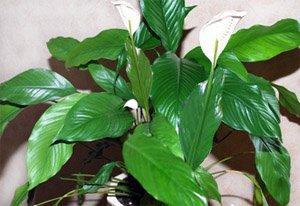 Спатифиллум - комнатные цветы