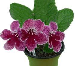 Стрептокарпус - комнатные цветы