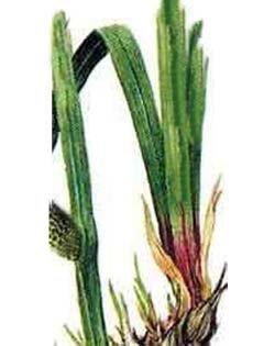 Аир обыкновенный (лепеха) - Лекарственные растения
