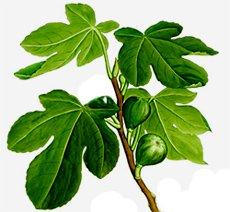 Инжир,  смоковница - комнатные растения