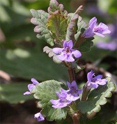 Будра плющевидная (собачья мята)- Лекарсвенные растения