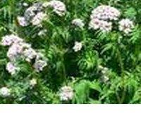 Валериана побегоносная - Лекарственные растения