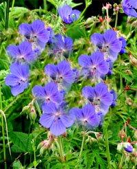 Герань луговая - Лекарственные растения