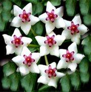Хойя - Комнатные цветы