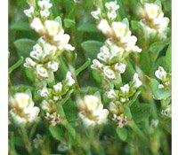Горец птичий (травка-муравка) - Лекарственные растения