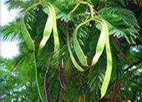 Гледичия трехколючковая (иерусалимский терн) - Лекарственные растения
