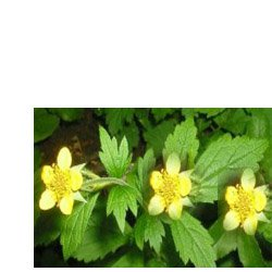 Гравилат  городской (гвоздичный корень) - Лекарственные растения