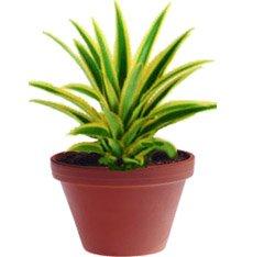Ананас - Комнатные растения