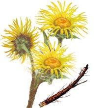 Девясил высокий (дикий подсолнух) - Лекарственные растения