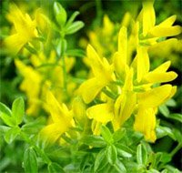 Дрок красильный (громовой, дрика) - Лекарственные растения