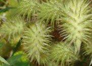 Дурнишник обыкновенный (зобник, ежовник) - Лекарственные растения