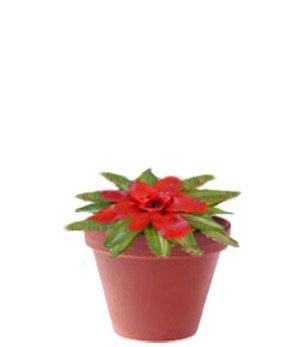 Нидулярия - Комнатные цветы