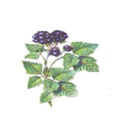 Ежевика сизая - Лекарственные растения