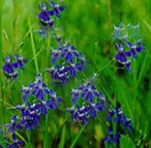 Живокость полевая (комариные носики, косарики) - Лекарственные растения