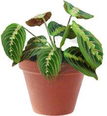 Ктенанте - Комнатные растения