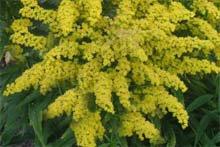 Золотая розга (золотарник, обыкновенный) - Лекарственные растения