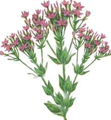 Золототысячник малый (центаврия) - Лекарственные растения