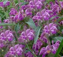Зопник  колючий (железняк) - Лекарственные растения