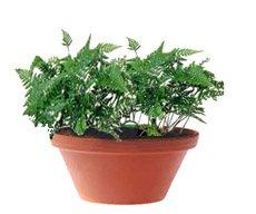 Даваллия - Комнатные растения
