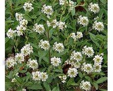 Икотник  серый - Лекарственные растения