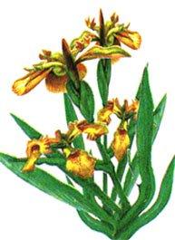 Касатик водяной - Лекарственные растения