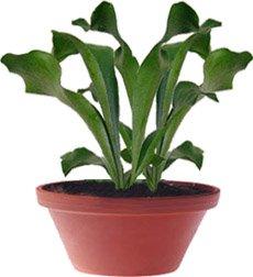 Плоскорог, олений рог - Комнатные цветы
