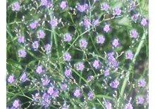 Кермек широколистный - Лекарственные растения